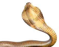 A yellow and brown cobra