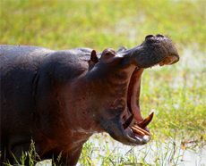 A hippo yawning