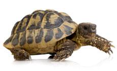 A walking turtle